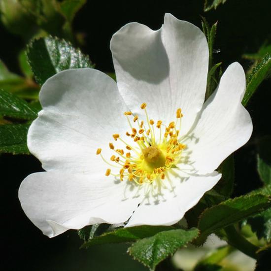 Rosa agrestis