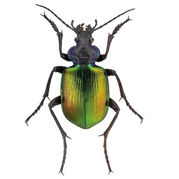 Calosoma sycophanta (Calosoma).