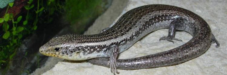 Chalcides chalcides (Luscengola comune o fienarola).