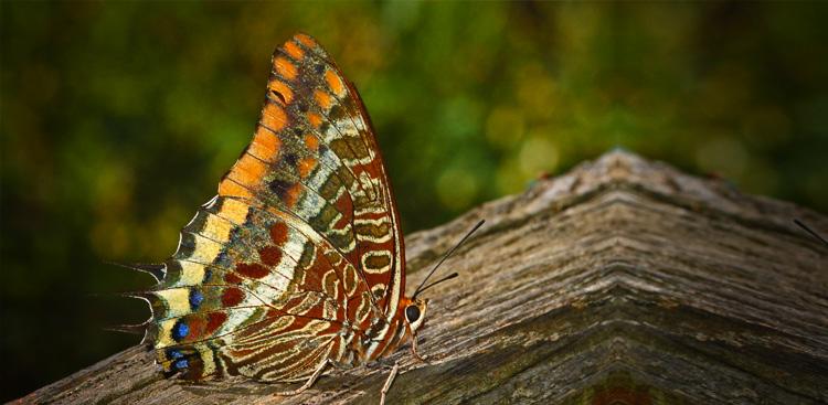 Charaxes jasius (Farfalla del corbezzolo).