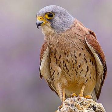 Falco grillaio.