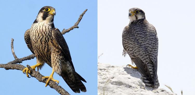 Da sinistra verso destra: Falco pellegrino, Lanario.
