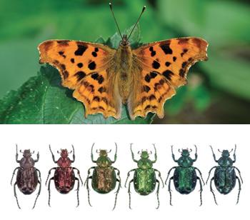 Dall'alto verso il basso: Polygonia c-album ( Farfalla-ninfalide), esemplari di Cetonia aurata pisana (Cetonia d'orata)