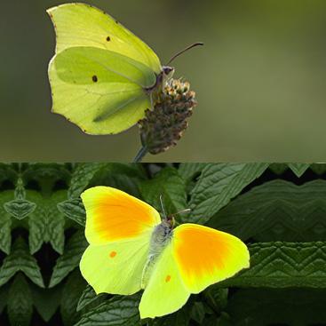 Dall'alto verso il basso: Gonepteryx rhamni, Gonepteryx cleopatra (Farfalle).