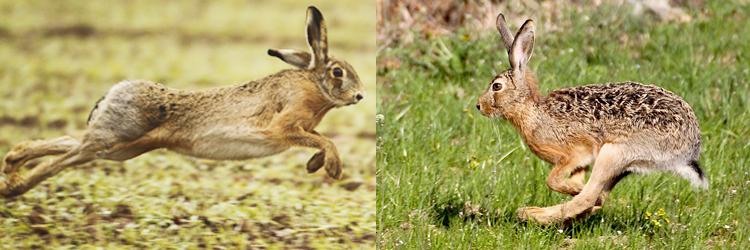 Da sinistra: Lepus corsicanus (Lepre Italica), Lepus europaeus (Lepre Europea).