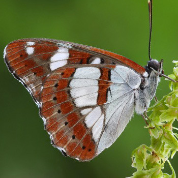 Limenitis reducta (Farfalla).