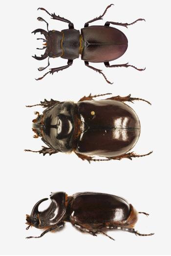 Dall'alto verso il basso: Calosoma sycophanta (Calosoma), Lucanus tetraodon (Cervo volante minore), Oryctes nasicornis laevigatus (Scarabeo rinoceronte).