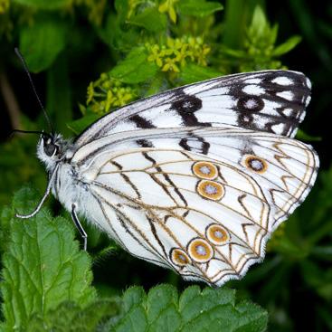 Melanargia arge (farfalla).