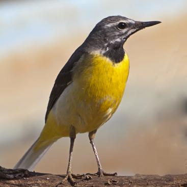 Motacilla cinerea (Ballerina gialla).