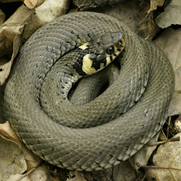Natrix natrix (Natrice dal collare).