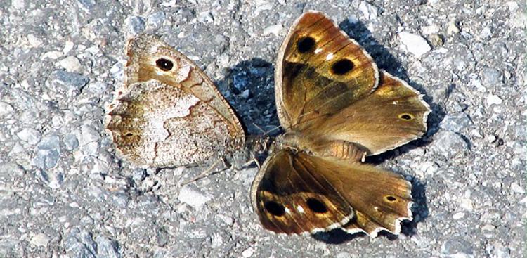 Neohipparchia statilinus. Farfalla.