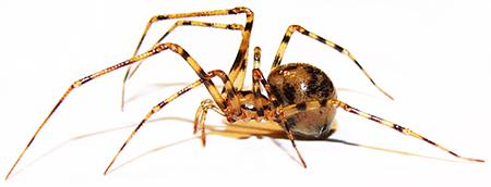 Nesticus sbordonii. Ragno troglobio.