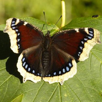 Nymphalis antiopa (Vanessa antiopa).