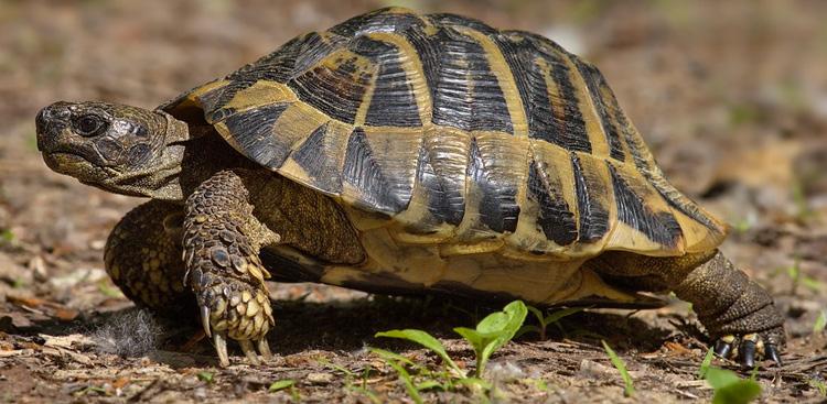 Testuggine di Hermann (tartaruga di terra).