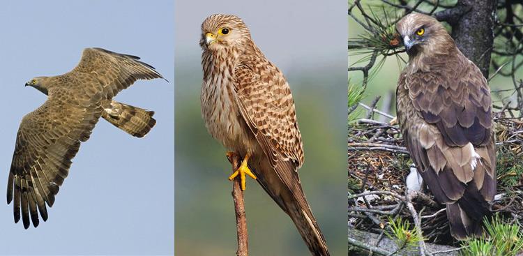 Da sinistra verso destra: Pernis apivorus (Falco pecchiaiolo), Gheppio, Circaetus gallicus (Biancone).