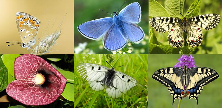 A partire dall'immagine in alto a sinistra ed in senso orario: Melitaea,    Polyommatus icarus, Zerynthia polyxena, Papilio machaon, Parnassius mnemosyne (Farfalle),  Aristolochia (Pianta).