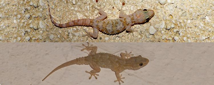 Dall'alto verso il basso: Tarentola mauritanica (Geco comune), Hemidactylus turcicus (Geco verrucoso).