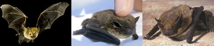 Da sinistra verso destra: Pipistrello albolimbato, Pipistrello nano, Pipistrello di Savi.