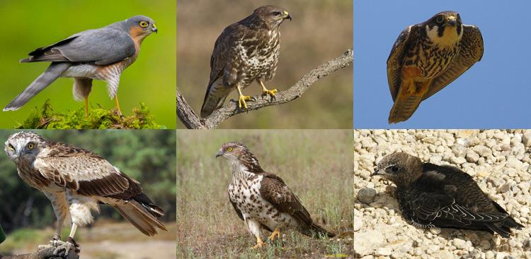 Dall'angolo in alto a sinistra e in senso orario: Accipiter nisus (Sparviere), Poiana, Lodolaio, Apus apus (Rondone), Falco pecchiaiolo, Biancone.