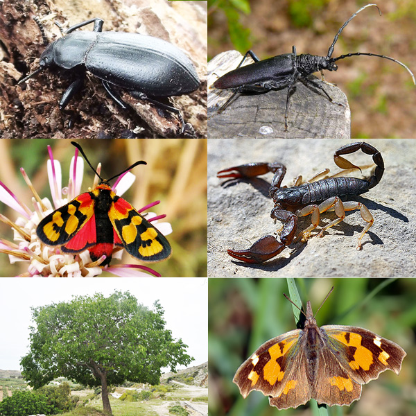 A partire dall'angolo in alto a sinistra ed in senso orario: Iphtiminus italicus (Coleottero tenebrionide), Cerambyx Cerdo (Cerambice della quercia),   Euscorpius flavicaudis (Scorpione), Libythea celtis (Farfalla brunastra), Celtis australis (Bagolaro,albero), Zygaena  spp.  (Zigene).
