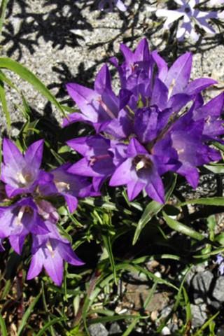 edraianthusgraminifolius